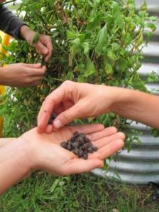 Seed saving from the native bush tucker: warrigal greens